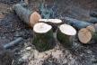 На Коломийщині затримали групу людей, які незаконно вирубували ліс (Фото)