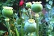 У Коломиї спіймали чоловка, який в руках ніс майже 60 рослин маку