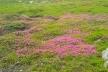 У мережі виклали фото як на горі Піп Іван квітне червона рута (Фото)