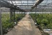 Замість огірків марихуана: на Прикарпатті правоохоронці виявили 4 гектари теплиць з коноплями на 50 млн євро (Відео)