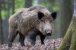 З футбольною сіткою – на кабана: як косівські лісники з мисливцями ловили дикого звіра (Відео)