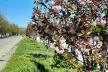 У Калуші розцвіли сакури. Де зробити селфі? (Фото, відео)