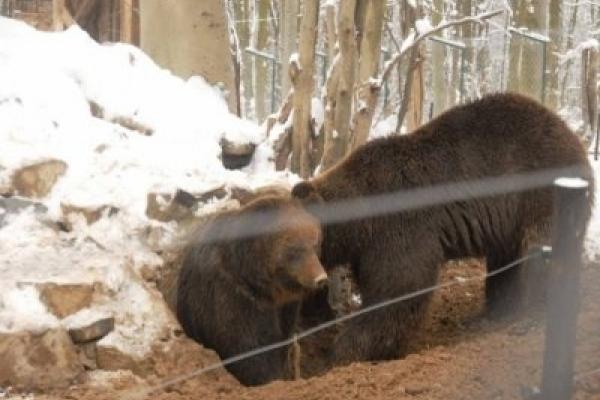 Сімейство ведмедів у Галицькому нацпарку ніяк не може влягтися спати (Відео)