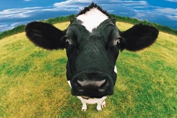 Прикарпатцям пропонують дотації на корів – 2500 грн за одну голову. Інструкція, як отримати