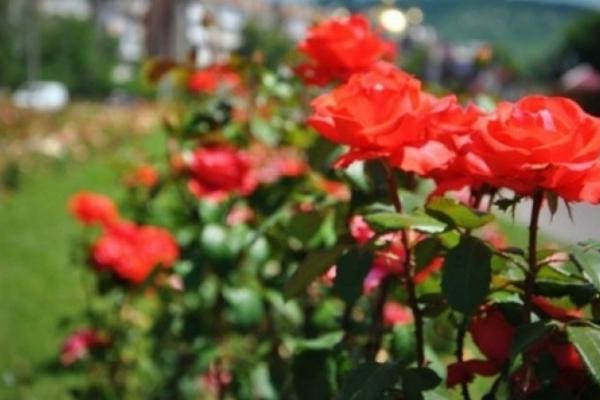 До Дня матері у парку Франківська з'явилась трояндова алея (Відео)