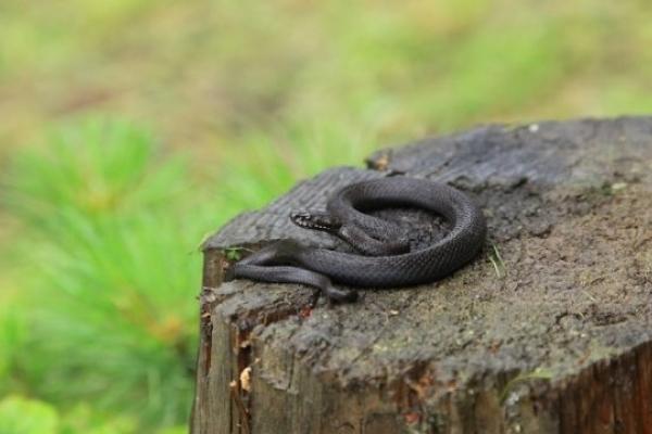 Після збору чорниці жителька Прикарпаття потрапила в реанімацію: вкусила змія