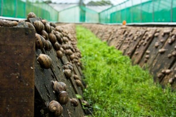 «Основний бізнес»: на Прикарпатті чоловік запустив ферму з вирощування равликів