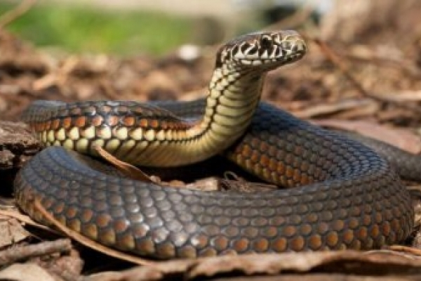 На Прикарпатті через укус змії 17-річна дівчина потрапила у реанімацію