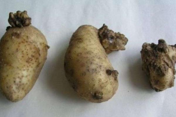 На Рожнятівщині виявили рак картоплі – в населених пунктах оголосили карантин