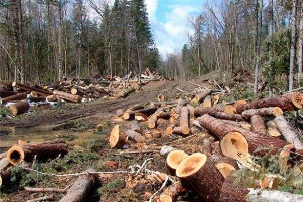 На Косівщині троє чоловіків можуть опинитись в тюрмі через вирубку лісу