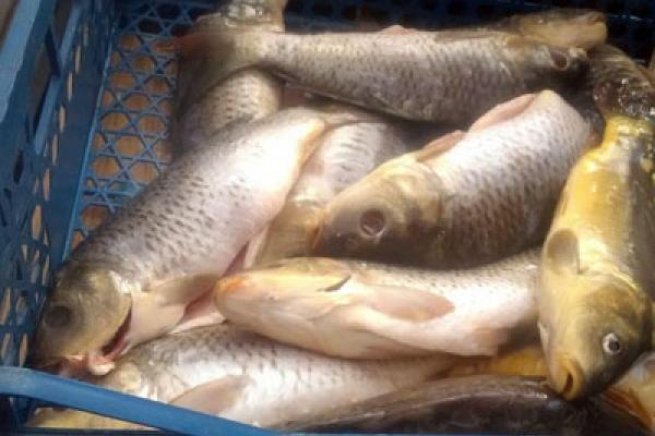 Зіпсовану рибу виявили на продажі ринку Івано-Франківська (Фото)