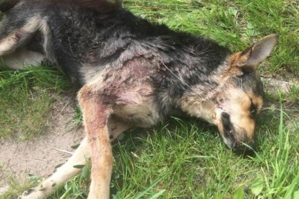 На Прикарпатті чоловік вбив сокирою двох собак, бо ті гавкали