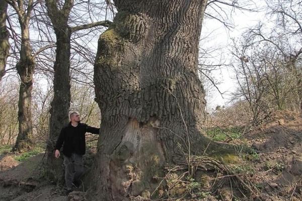 На Прикарпатті росте дуб, вік якого може сягати півтисячоліття