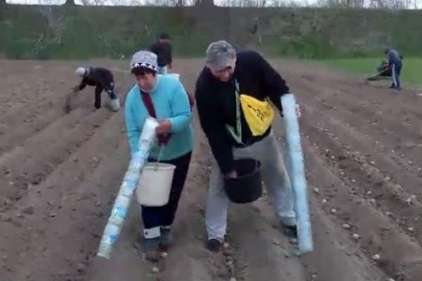 Бульбафест: прикарпатець показав оригінальний спосіб, як саджати картоплю і вберегти спину (Відео)