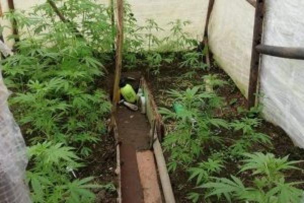 У Калуші чоловік у теплиці вирощував коноплю (Фото)