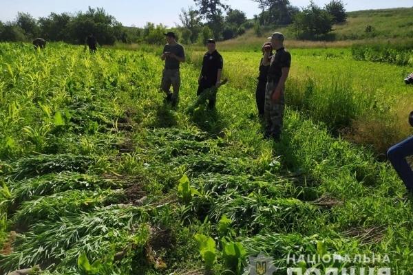 Конопля замість картоплі: прикарпатець на городі вирощував наркотик