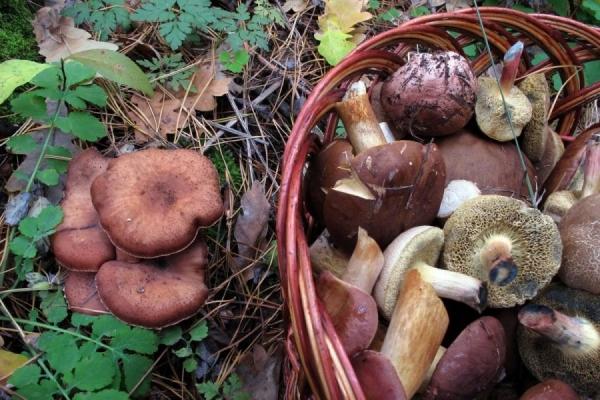 На Прикарпатті туристи отруїлися грибами