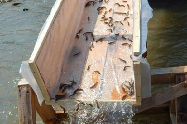 У Прут випустять 30 тисяч мальків лосося та форелі