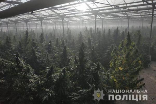 Марихуни на 50 мільйонів євро: на Прикарпатті поліція знайшла гігантські посіви коноплі (Фото)