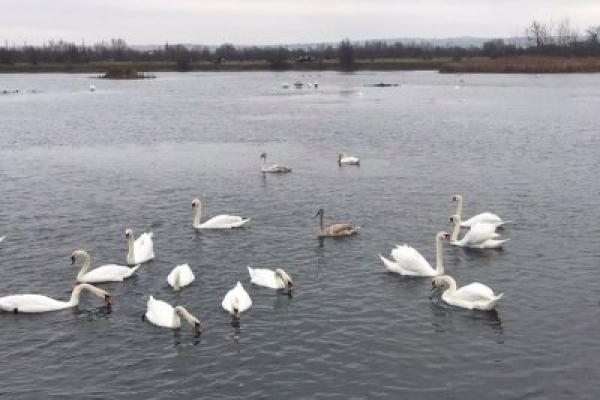 На озері в Калуші оселились майже чотири десятки лебедів