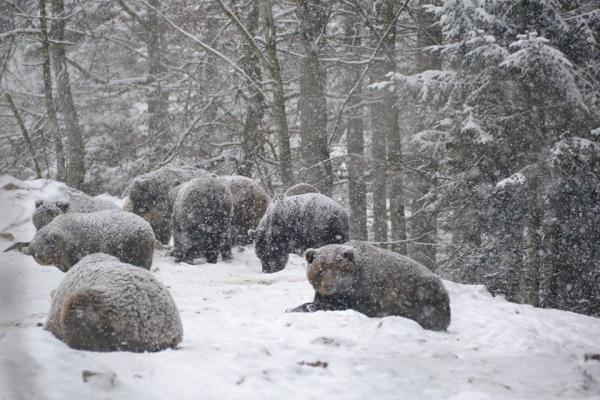 У Карпатах тепла зима не дає ведмедям заснути