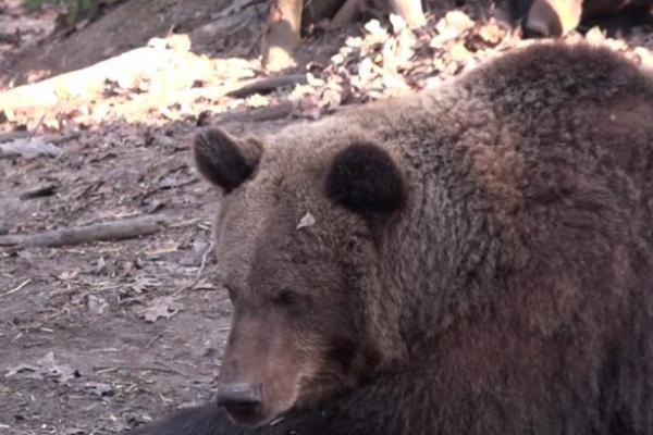 «Бродячий сон»: як зимують ведмеді у Галицькому природному парку (Відео)