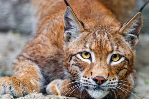 Червонокнижний звір: у Карпатах туристи зняли на відео дику рись (Відео)