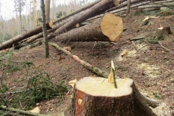 На Долинщині невідомі незаконно зрізали дерев майже на 50 тисяч гривень