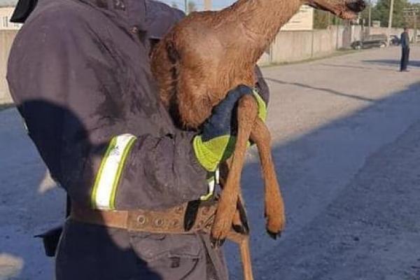 У Надвірній рятувальники витягували козулю з кількаметрової ями (Фотофакт)