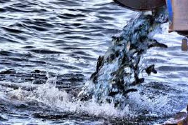 Велике зарибнення: у водосховище на Франківщині запустили 216 тисяч рибин