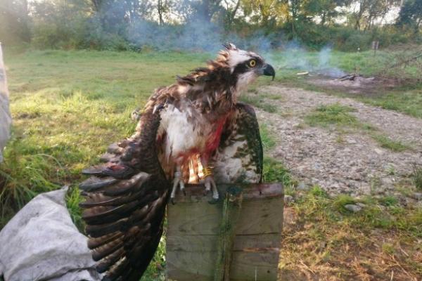 Прилетів з Фінляндії: на Прикарпатті вбили рідкісного птаха
