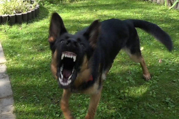 Введено карантин: В Городенці скажена собака покусала власницю